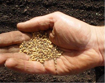 El grano de mostaza Mostaza